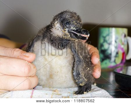 African Penguin Chicken