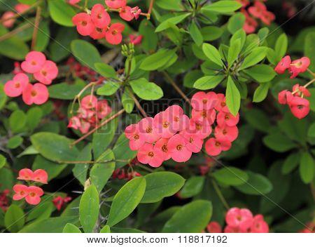 Flowers of Christ's Thorn plant Euphorbia milii var splendens from Madagascar.