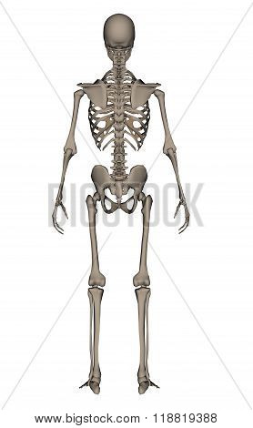 Human skeleton - 3D render