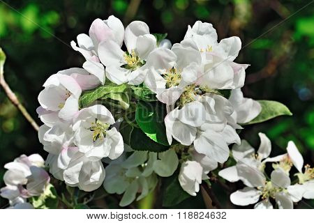 Beautiful Flowers Of Apple Closeup