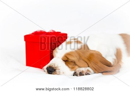 Basset Puppy With Red Gift