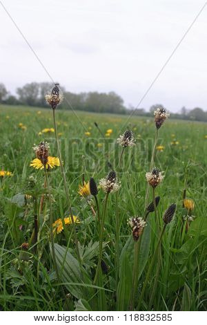 Ribwort Plantain In Meadow