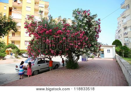 Antalya, Turkey - June 7, 2015: Children Decorate A Parked Car With Flowers Near The Tree Oleander.