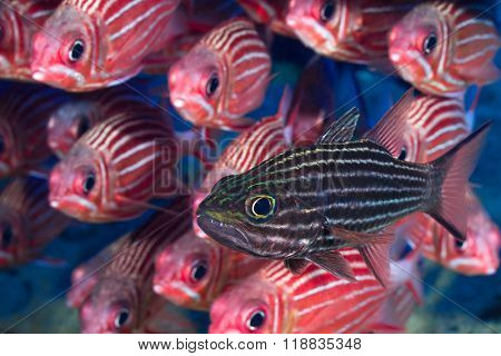 Tiger cardinalfish in front of squirrelfish school.