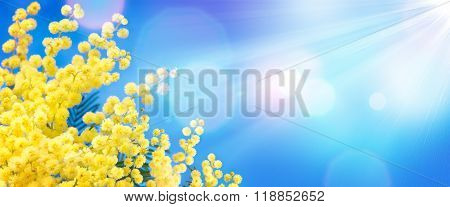 Mimosa In The Blue Sky - Women's Day Background