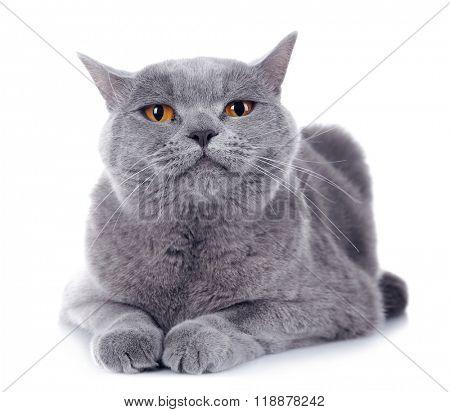 Short-hair grey cat isolated on white background