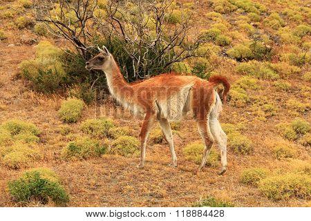 Llama (Guanaco)