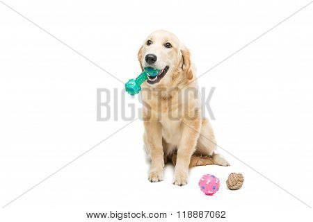 Young beautiul golden retriever dog