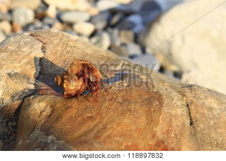 Hermit Crab Inside Smalll Sea Snail Shell On The Stone On The Shore