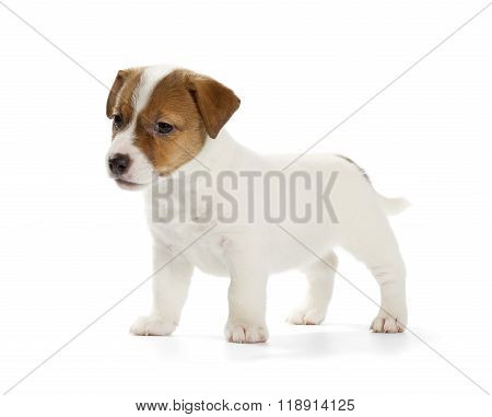 Jack Russell Terrier Puppy