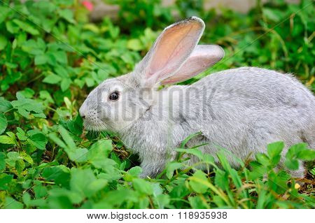 Young Rabbit On Green Grass