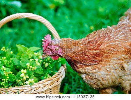 Inquisitive Young Hen On A Green Grass