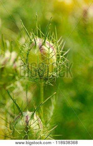 Nigella Seed Capsule, Nigella Sativa. Love-in-the-mist