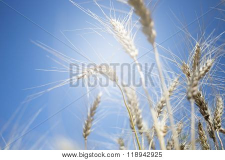 Golden wheat field and sunny day.