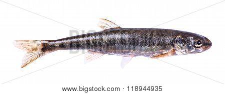 Common Minnow (phoxinus Phoxinus)