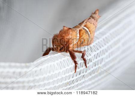 Macro Of Red Moth Enface
