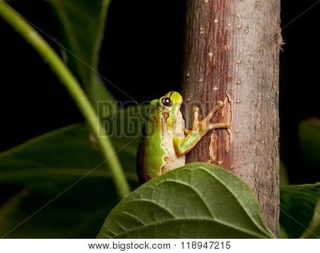 European Tree Frog On Branch