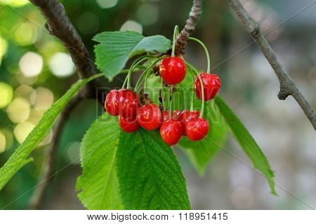 Berries Cherries On A Branch
