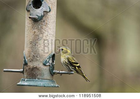 Siskin Carduelis Spnus Wild Bird On Brd Feeded In Garden