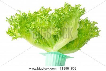 Fresh Green Oak Leaves Lettuce In Green Pot