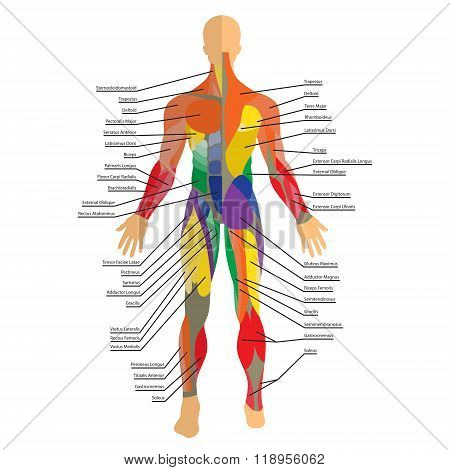 Detailed illustration of human muscles. Exercise and muscle guide. Gym training. Front and rear view