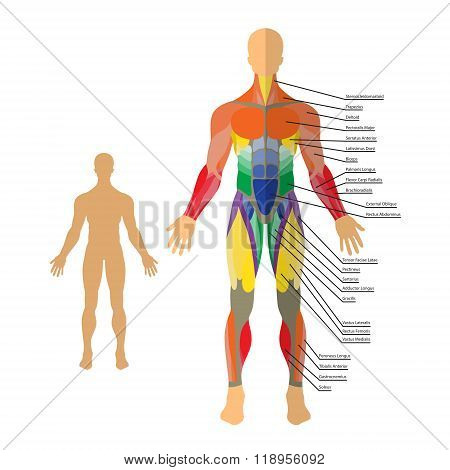 Detailed illustration of human muscles. Exercise and muscle guide. Gym training.