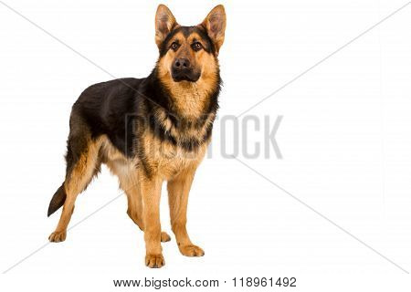 German Shepherd Solated On White Background