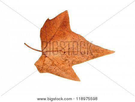 Dry maple leaf with pincers on white background