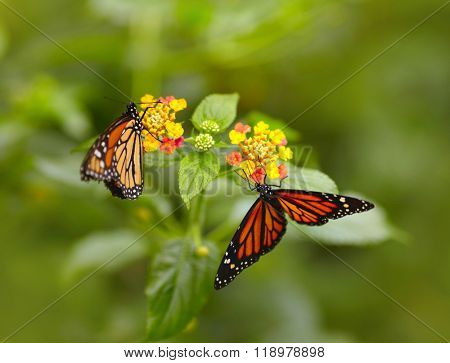 Two tiger butterfly on the flowers