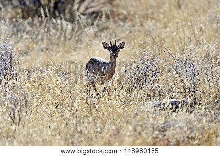 Gazelle Dik Dik