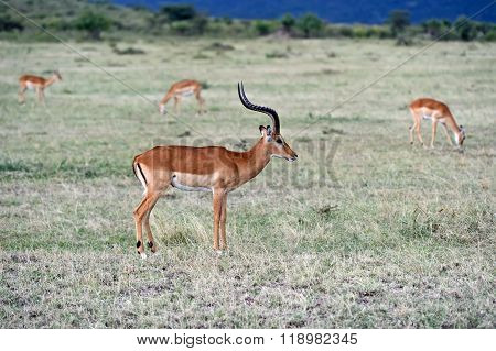 Antelope Impala In The Savannah