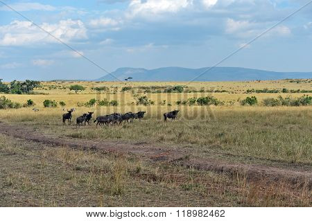 Wildebeest In The Savannah