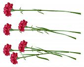 Постер, плакат: Red clove Bouquet of carnations Set carnation flowers