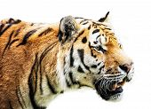 ������, ������: Siberian Tiger Panthera Tigris Altaica Portrait On The White Background