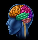 stock photo of frontal lobe  - brain lobe sections divisions of mental neurological lobes activity - JPG