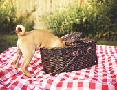 a cute baby pug chihuahua mix puppy looking into a wicker picnic basket and licking her face during poster