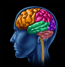 foto of frontal lobe  - brain lobe sections divisions of mental neurological lobes activity - JPG