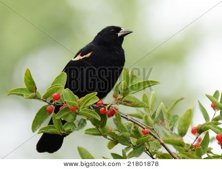 Red-winged Blackbird, Fuzzy Green Background