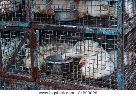 Chickens In A Cage
