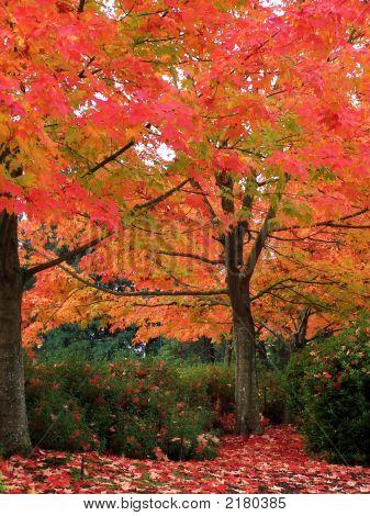 Flaming Autumn Tree