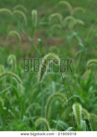 Foxtail Grass Patch