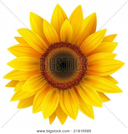 Vector sunflower.