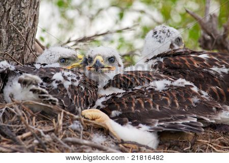 Three Little Hawks