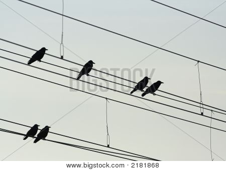 Roosting Rooks