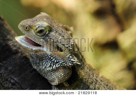 Pogona Vitticeps
