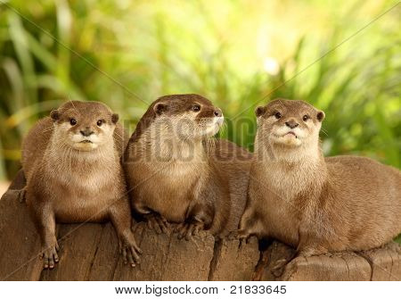 European Otters