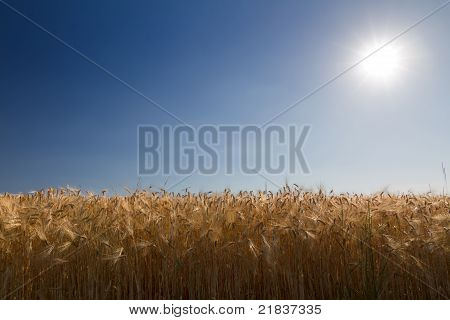Cornfield (rye) with blue sky against the light in Pfalz, Germany