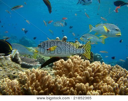School of sweetlips