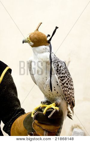falconry falcon rapacious bird on glove hand leather with blind hood