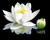 White Water-lily Flower And Bud